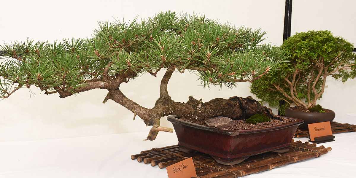 1200x600-Bonsai-Bright